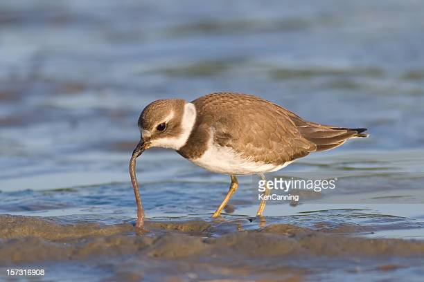 Semipalmated Plover Feeding on Worm