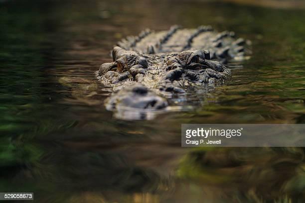 Semi-submerged Large Saltwater Crocodile