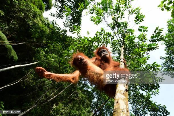 semi-wild sumatran orangutan mother with baby in the gunung leuser national park, sumatra island, indonesia - orangutan stock pictures, royalty-free photos & images