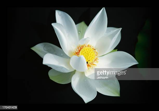 sen trang  -  white lotus - water lily stock photos and pictures