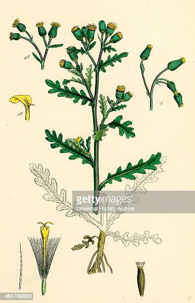 Senecio vulgaris Common Groundsel