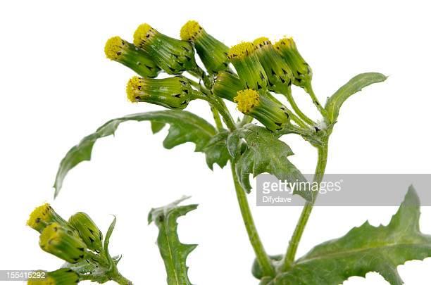 Senecio vulgaris ou Sénéçon commune de