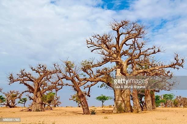 senegal, baobab at sine saloum park - senegal fotografías e imágenes de stock