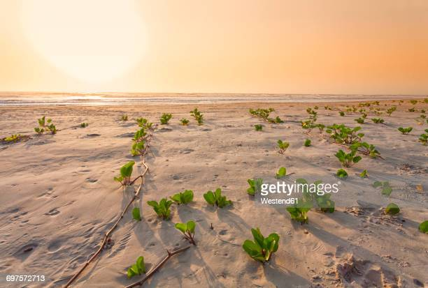 Senegal, Boukote Ouolof, beach with tendrils at sunset