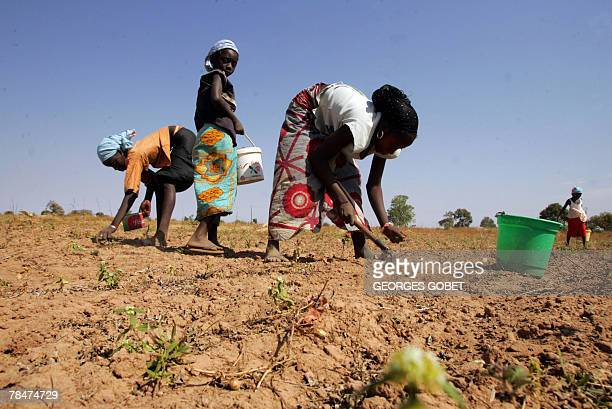 Senegalese children collect peanuts Senegal's main crop near the village of Keur Djim in the Kaolack region 11 December 2007 where once more the...