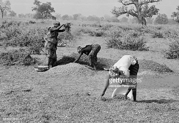 Senegalese peanut farmers at work.