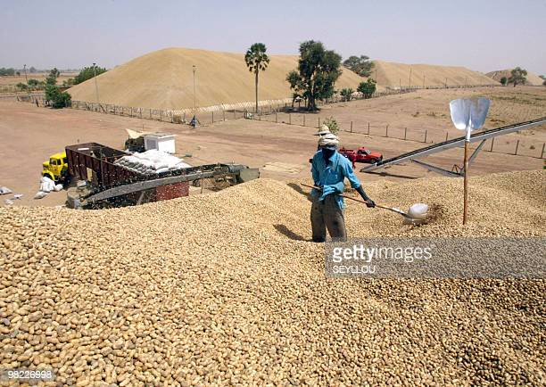A Senegalese worker turns over mountainhigh heap of peanuts on March 22 2005 at harvesting point of SONACOS company in Lyndiane at outskirts of city...