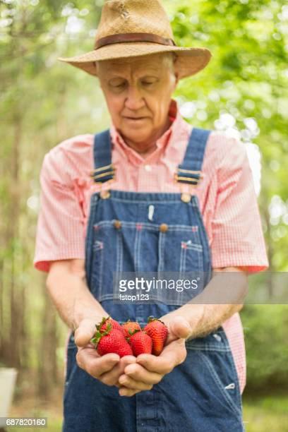 Senior adult male farmer harvests organic strawberries from farm.
