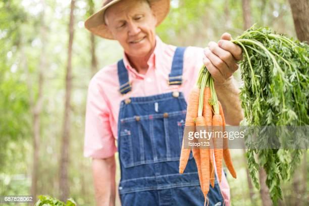 Senior adult male farmer harvests organic vegetables from farm.