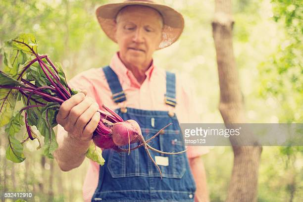 Senior adult, male farmer picks beets on farm. Organic vegetables.