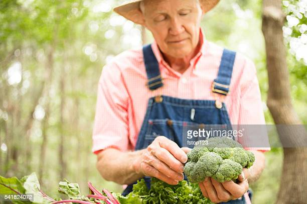 Senior adult, male farmer picks broccoli on farm. Organic vegetables.