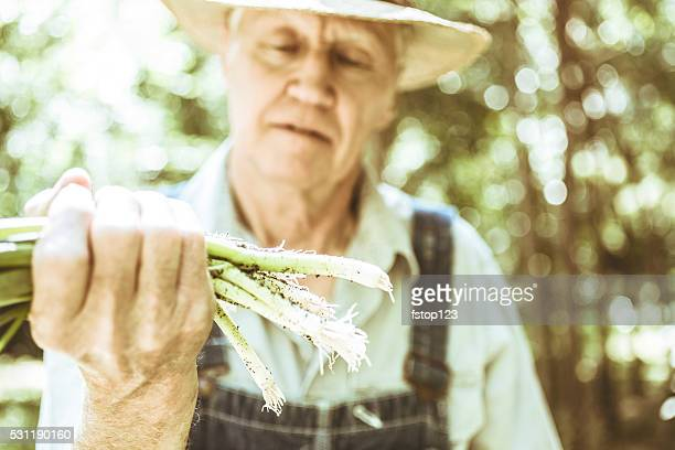 Senior adult, male farmer picks scallions on farm. Organic vegetables.