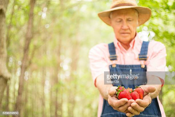 Senior adult, male farmer picks strawberries on farm. Organic fruit.