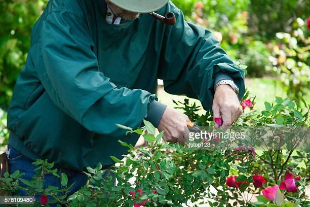 Senior adult man gardening.  Trimming rose bushes.