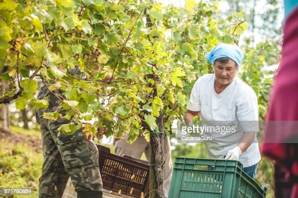 ブドウ畑でワイン用のブドウを収穫上級大人の女性