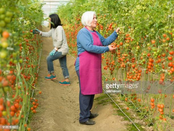Senior Adult Woman Working In Modern Tomato Greenhouse