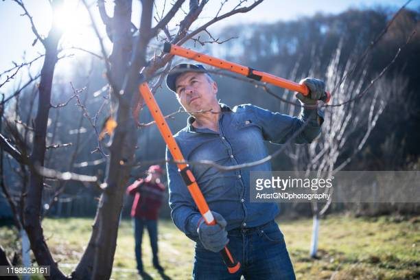 senior adults pruning a tree in orchard. - fruit tree stock pictures, royalty-free photos & images
