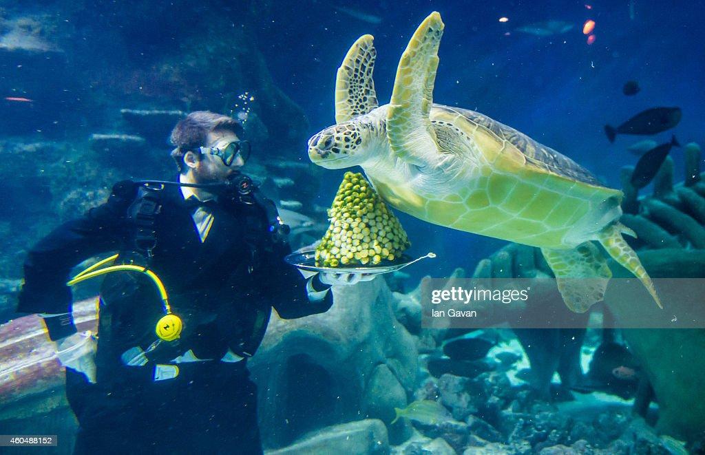 LONDON, ENGLAND - DECEMBER 15 Senior Aquarist Charles-Edouard Fusari feeds a Green Sea Turtle Greedy Boris with sprouts at The Sea Life London Aquarium on December 15, 2014 in London, England.
