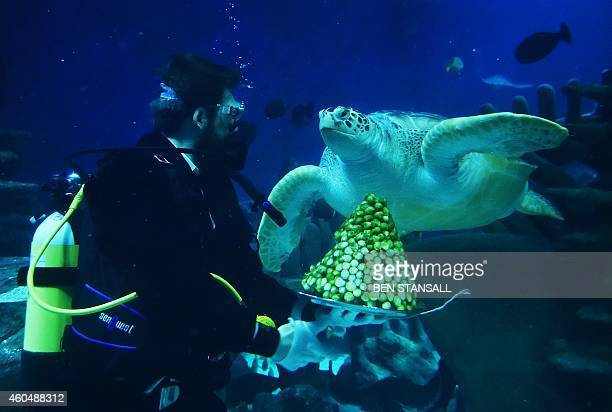 Senior aquarist CharlesEdouard Fusari offers sprouts to 'Boris' a rare Green Sea turtle during a photocall to promote the Christmas season at the Sea...