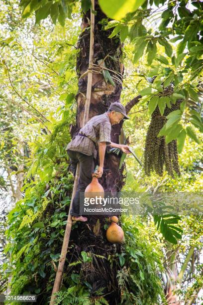 Senior artisan Indonesian harvesting palm tree sap