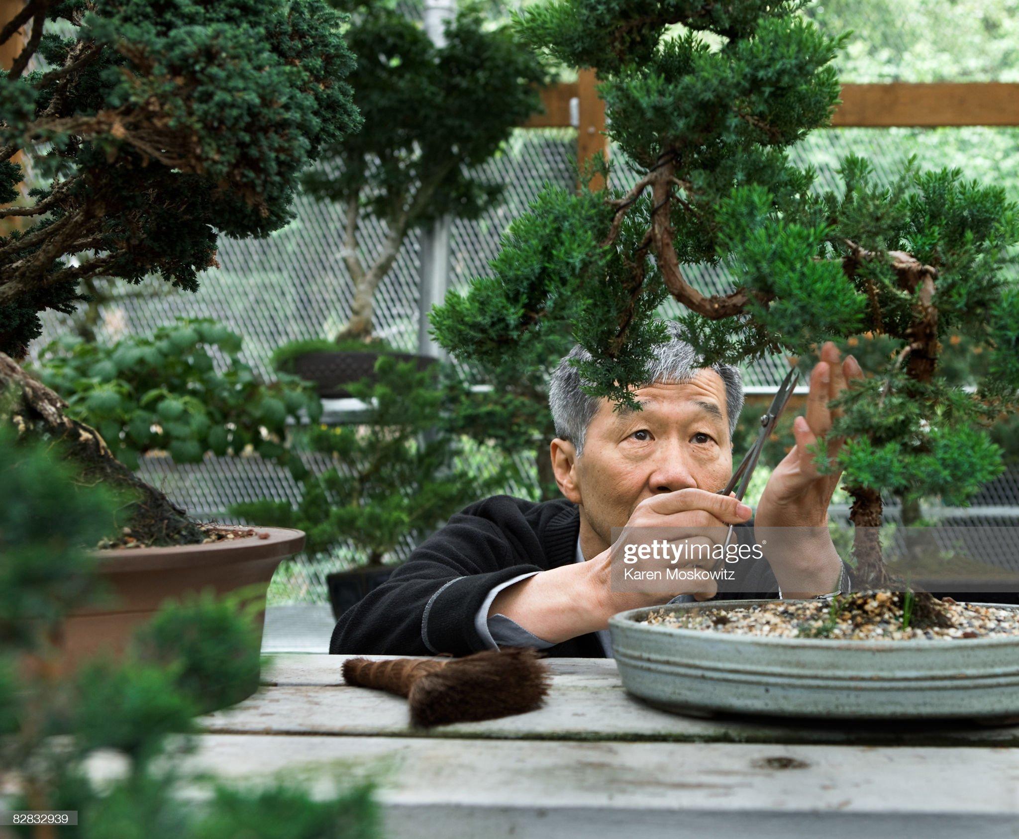 Senior asian man trimming bonsai tree : Stock Photo