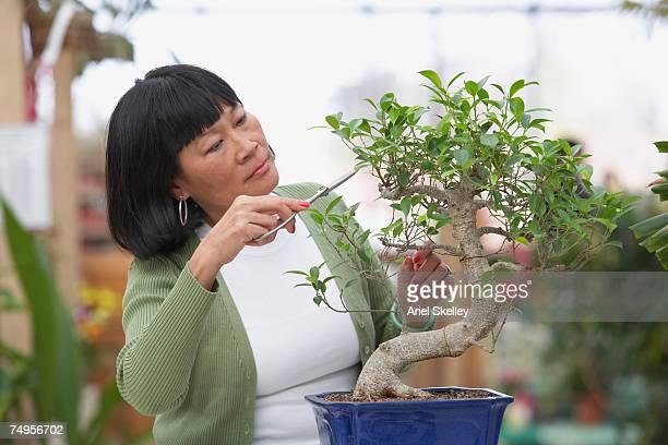 senior asian woman pruning bonsai tree - bonsai tree stock pictures, royalty-free photos & images