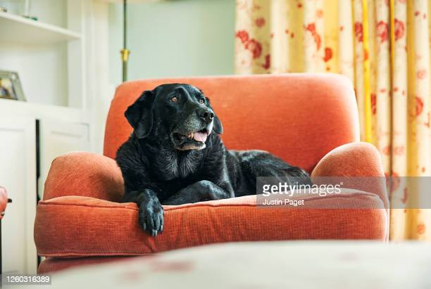 senior black labrador relaxing on armchair - black labrador stock pictures, royalty-free photos & images