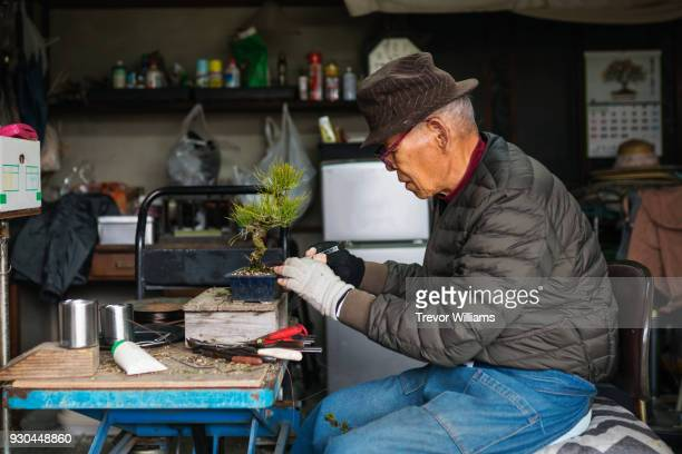 A senior bonsai master carefully pruning a small bonsai tree