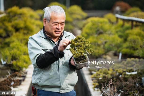 a senior bonsai master inspecting a small bonsai tree in his farm - art and craft fotografías e imágenes de stock
