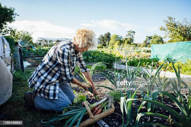 senior british woman harvesting leeks from allotment garden - berkshire england stock pictures, royalty-free photos & images