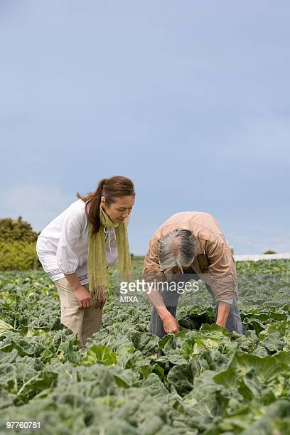 Senior couple harvesting cabbage