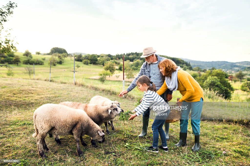Senior couple with granddaughter feeding sheep on the farm. : Stock Photo