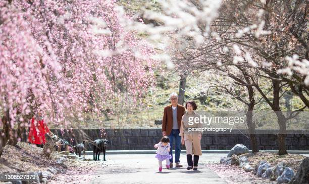 senior couple with their grandchild in plum blossom park - flower part stock pictures, royalty-free photos & images