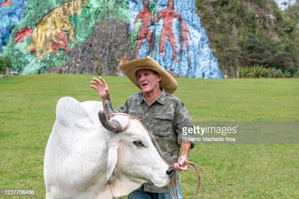 Senior Cuban man with a domestic cow for petting. The image was taken in the Prehistory Mural in the Vinales Valley which is a Unesco World Heritage...