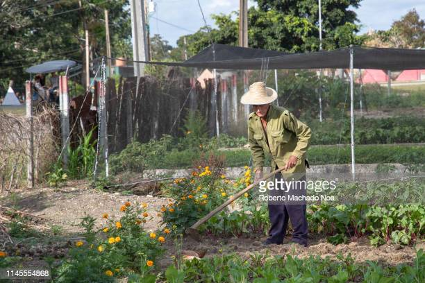 Senior Cuban man working on a vegetable garden in the city He wears a straw hat and a military shirt Many retired people have private small...