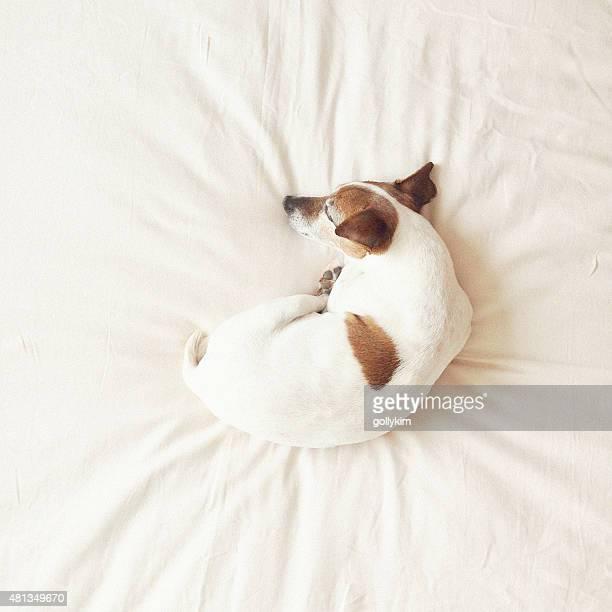 Alter Hund Lesen auf Bett schlafen.