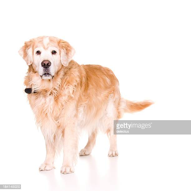 Senior chien
