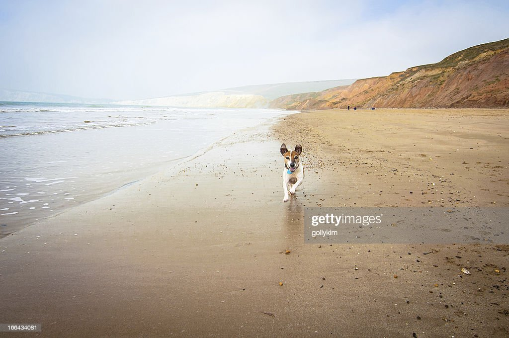 Senior dog running on the beach : Stock Photo