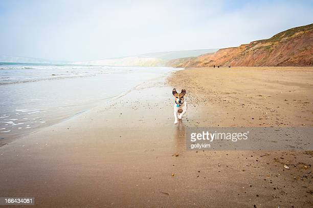 senior dog running on the beach - jack russell terrier stock photos and pictures