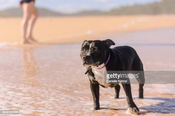 senior dog standing in water at beach - canine stock pictures, royalty-free photos & images