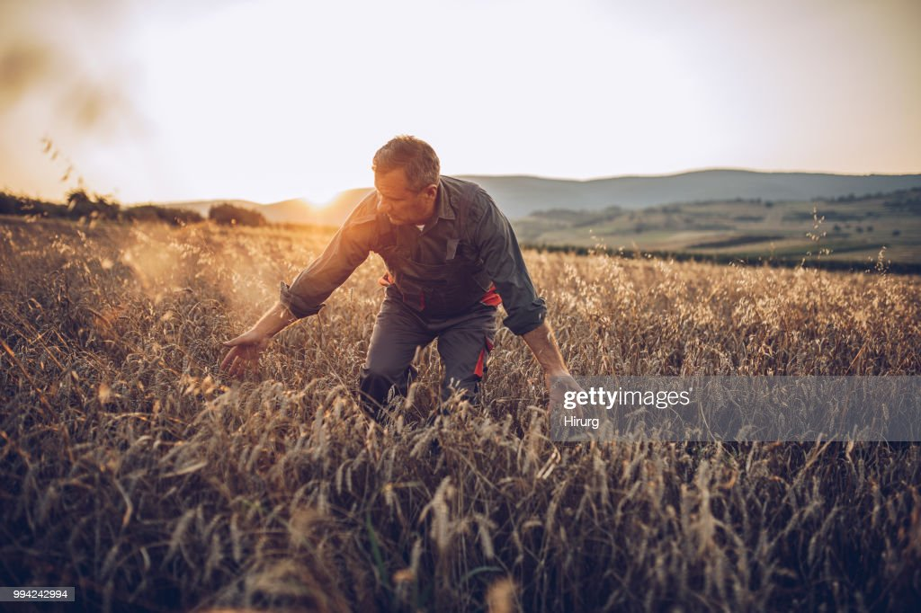 Trabalhador de fazenda sênior análise de campo de culturas de trigo : Foto de stock