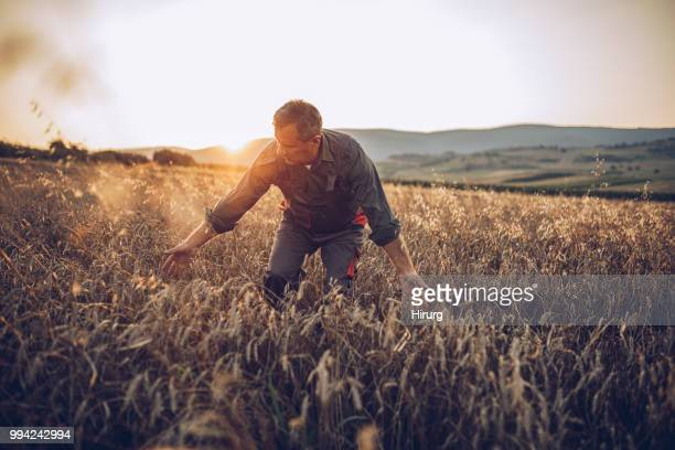 senior farm worker examining wheat crops field - organic farm stock pictures, royalty-free photos & images