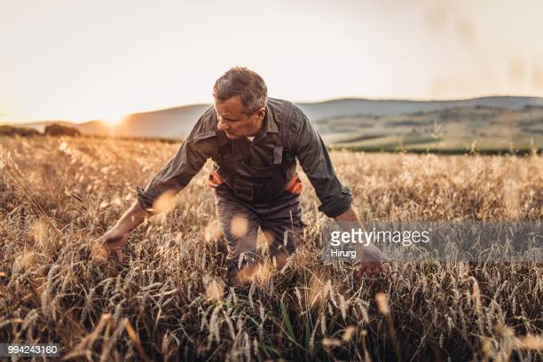senior farm worker examining wheat crops field - look back at early colour photography stock photos and pictures