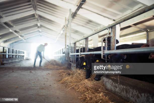 senior farmer feeding animals in farm - herbivorous stock pictures, royalty-free photos & images