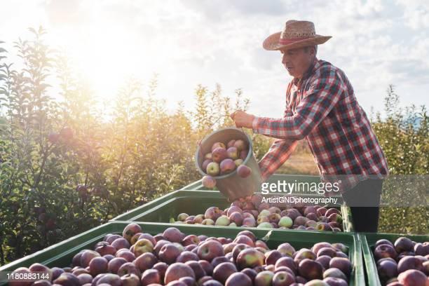 senior boer oogst appels - appelboom stockfoto's en -beelden