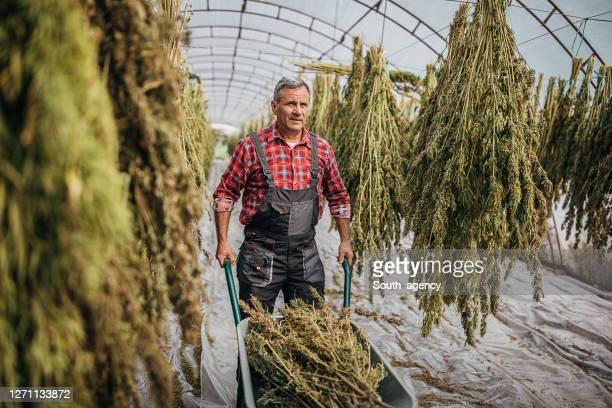 シニア農家は、乾燥大麻麻植物を収穫し、手押し車でそれらを輸送 - カンナビスサティバ ストックフォトと画像
