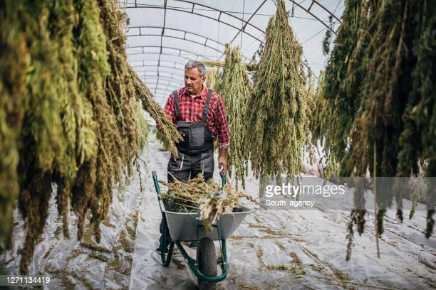 緑の家で乾燥大麻麻植物を収穫シニア農家 - カンナビスサティバ ストックフォトと画像