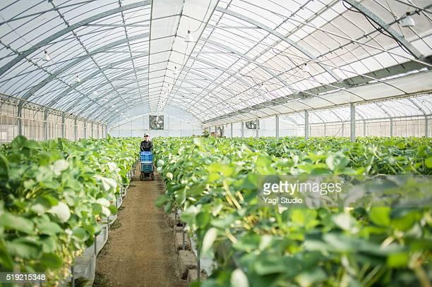 senior landwirt ernten erdbeere - gewächshäuser stock-fotos und bilder