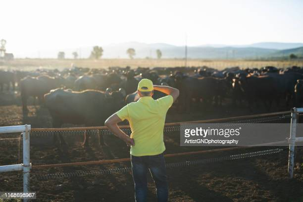 fazendeiro sênior na exploração agrícola de leiteria do búfalo - oxen - fotografias e filmes do acervo