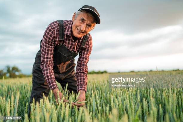 senior farmer in wheat field looking at camera - agronomist stock pictures, royalty-free photos & images